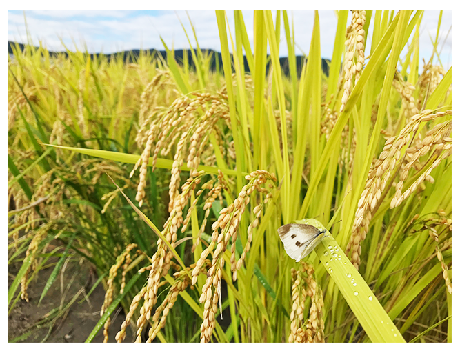 rice-photo