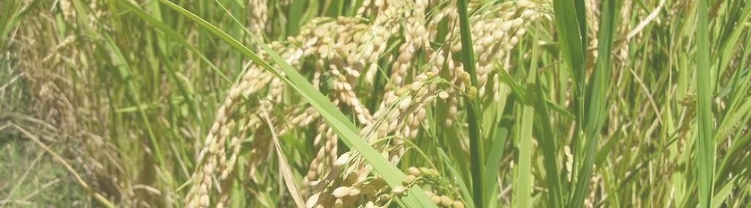 おびファームの稲