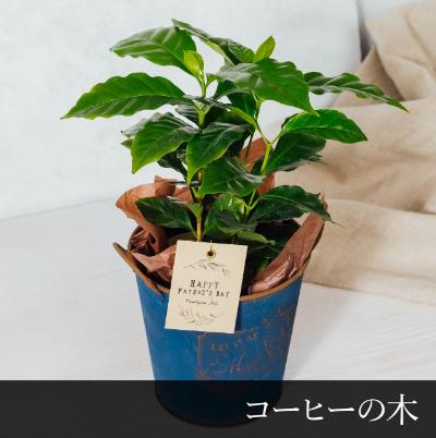 【父の日限定】コーヒーの木